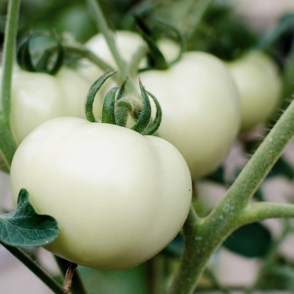 White Tomato Extract